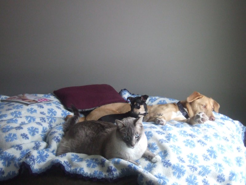 A picture of a couple dogs and a cat relaxing on a giant Fombag