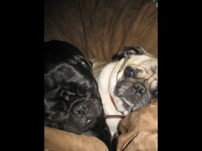 A couple of small pugs cuddling up together in the center of a brown Fombag